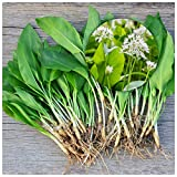 Woodland bulbs® 50 x Wild Garlic Bulbs (in The Green) Allium Ursinum Top Quality Freshly-Lifted Large Bulbs Spring Flowering Bulbs Native Ready to Plant (Free UK P&P) Plant with Snowdrops & Bluebells