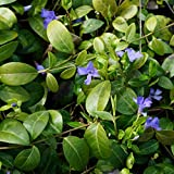 Blumixx Stauden Vinca minor - Kleines Immergrün, im 0,5 Liter Topf, blauviolett blühend