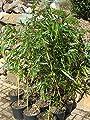 Phyllostachys vivax 'Aureocaulis' - Zauberbambus 80cm +/-