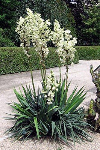Portal Cool 10 Samen - Schlaff Blatt Yucca - Yucca flaccida