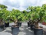 XXL Vitis Vinifera 100 - 110 cm knorrige Weinrebe Weinstock Weintraube Obstbaum Obst Traube