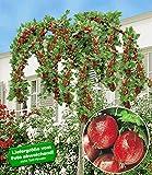 BALDUR-Garten Stachelbeer-Stämmchen