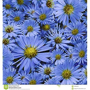Kisshes Seedhouse Rare Marguerites Bleues Du Cap Santa