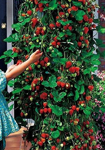 50pcs-rojo-fresa-fresa-frutas-escalada-cuatro-temporada-semillas