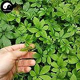 Pinkdose® Kaufen Sie echte Gynostemma Semente 200Pcs New Plant Herb Jiaogulan Wachsen Sie Medizin Kräuter Gynostemma Pentaphyllum