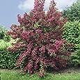 Weigelie Bristol Ruby rot blühend, 1 Strauch