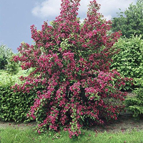 weigelie-bristol-ruby-rot-bluhend-1-strauch