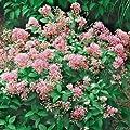 Säckelblume 'Marie Rose' von Garten Schlüter auf Du und dein Garten