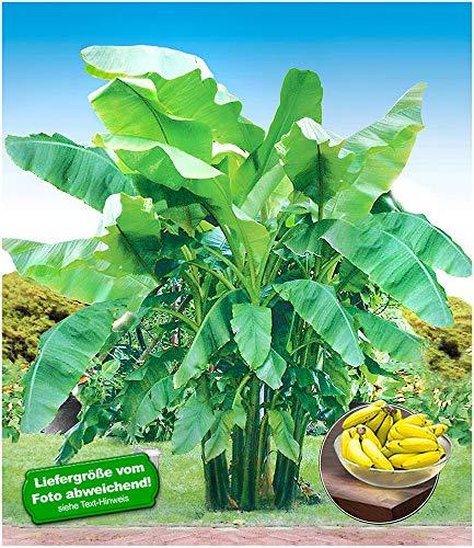 BALDUR-Garten Winterharte Bananen \'grün\' Faserbanane Bananenbaum, 1 Pflanze Musa basjoo Bananenpflanze