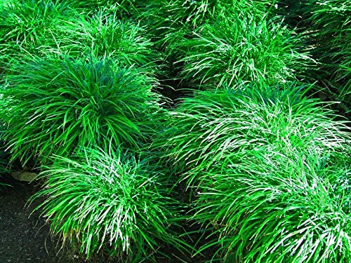 Portal Cool Ophiopogon japonicus Mondograss, Fountainplant, Monkeygrass - 10 Pflanzen