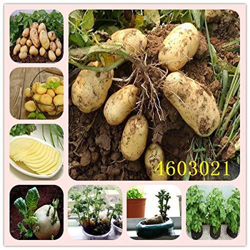 Bloom Green Co. 50 Pcs New Bonsai frais de pommes de terre nutrition légumes vert pour la maison & amp; Garden Plantation bonsaïs de pommes de terre absorbant les radiations