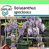 SAFLAX - Garden to Go - Bonsai - Afrikanischer Blauregen - 15 Samen - Bolusanthus speciosus