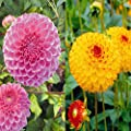 Pompon Dahlien Kollektion D. Royal/S.Boy von Meingartenshop - Du und dein Garten