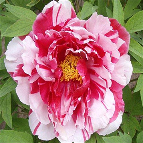 5 pièces / sac graines de pivoine, jaune, graines de fleurs de pivoine rose chinoise belles graines de bonsaï plantes en pot pour le jardin de la maison 8