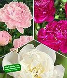 BALDUR-Garten Duft-Pfingstrosen 'Raritäten-Mix', 3 Knollen Paeonia Sarah Bernhardt, Immaculee, Rich and Fame
