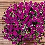 Suttons Seeds 126096 Purple Wave - Semi di petunia F1, colore viola
