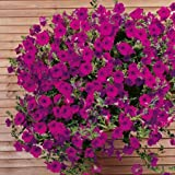 Suttons Seeds 126096 Purple Wave - Semi di petunia F1, colore viola