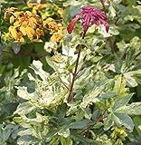 Acer campestre Magic Spring Feldahorn weiß marmorierte Blätter