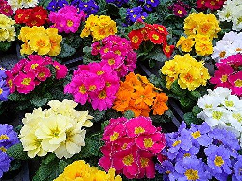 lot de 50 graines de Primevère des jardins à grandes fleurs Coucou plantes vivaces