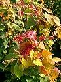 wilder Wein Parthenocissus tricuspidata Veitchii 100 cm hoch im 3 Liter Pflanzcontainer von Plantenwelt Wiesmoor - Du und dein Garten