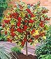 BALDUR-Garten Ilex-Stämmchen 'Golden King', 1 Pflanze, Ilex x actaclerensis von Baldur-Garten - Du und dein Garten