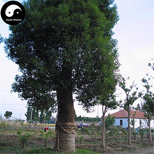 Acquistare albero di canfora semi pianta 120PCS Cinnamomum Camphora per cinese albero di canfora