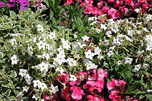 Weißer Ziertabak 50 Samen,Tabaksamen, Nikotiana Sylvestris