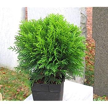 kugelige Zwergthuja Danica Zwergkonifere Thuja occidentalis im Topf 10 cm 15 Stk