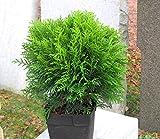Thuja occ. 'Danica' - kugeliger Zwerg-Lebensbaum -Zwergkonifere langsam wachsend im 17 cm Topf