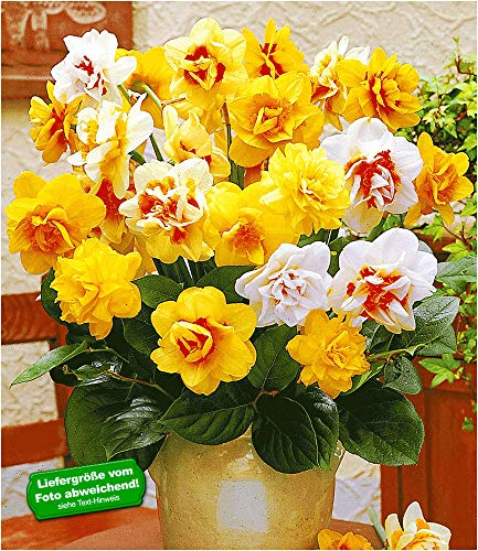 BALDUR-Garten Doppelt gefüllte Narzissen, Osterglocken Prachtmix, 25 Zwiebeln Narcissus