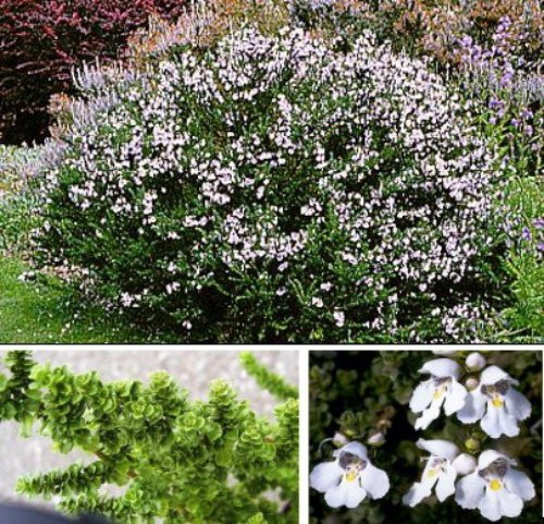 prostanthera-cuneata-alpine-mint-bush-compact-evergreen-shrub-plant-1-litre-pot-free-delivery