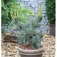 japanische M/ädchenkiefer Negishi Pinus parviflora Negishi 50 cm im 15 Liter Pflanzcontainer