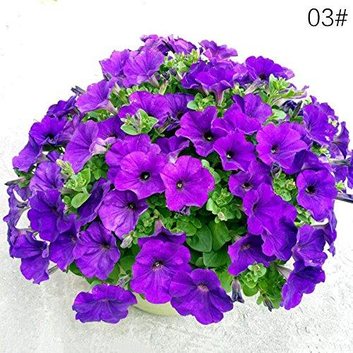 oobest Hang Pétunia Saisons Été Saison Quatre Saisons Intérieur Maison Balcon Pot Graines Semences De Fleurs 10 pcs/Sac