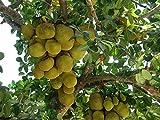 Jackfruchtbaum -Artocarpus heterophyllus- Samen -Rarität-