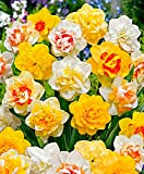 Narcisses doubles mélange-le paquet de 25-Bulbes à fleurs