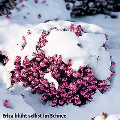 Gärtner Pötschke Sortiment Schneeheide von Gärtner Pötschke bei Du und dein Garten