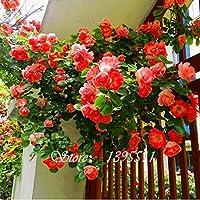100 PCS perfume arco iris plantas trepadoras semillas de flores, berro de roca de flores de colores, semillas de flores para el jardín de