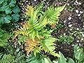 Portal Cool Marginal Holz Fern: 250 Farnsporen -Blättern in der Liste mit den Sorten -Usa Grown wählen von Wide Spread - Du und dein Garten