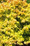 Acer palmatum Orange Dream - gelber asiatischer Fächerahorn - verschiedene Größen (60-80cm - 3 ltr.)