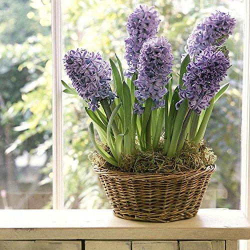 Ncient 20/ 50/ 100 pcs/ Sac Graines de Jacinthes Hyacinthus Orientalis Bonsaï en Plein Air Semences de Fleurs Jardin pour l'Intérieur et l'Extérieur (100pcs)