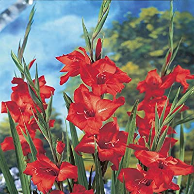 Nanus Gladiole Mirella von Meingartenshop auf Du und dein Garten