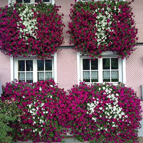 Ultrey Samenshop - 200 Stück Lila Hängende Petunien Blumensamen Blumenmeer Bonsai Petunia Samen Garten Pflanzen Blumen mehrjährig winterhart Leuchten Ihren Garten -