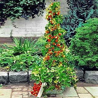 AIMADO Samen-100 Pcs Klettererdbeere Saatgut Bio Obst Sommer Aromatische Früchte Erdbeere Hohe Erträge Samen mehrjährig Winterhart Ideal für Terrasse und Balkon
