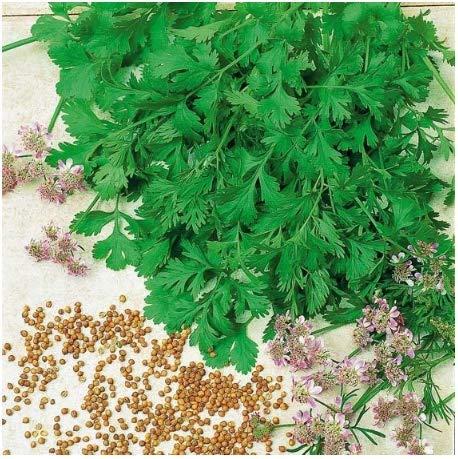 Xianjia Garten - BIO Kräuterpflanze Blatt- Koriandersamen ?Petersilie?,Koriandergrün Pflanzen süßlichen Würze schätzen,Kräuter Saatgut winterhart mehrjährig (100)