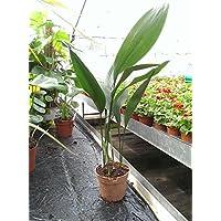Aspidistra Elatior House Plant in a 13cm Pot. 60cm Tall. Cast Iron Plant