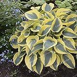 Bloom Green Co. 100 Unids Plantas Hosta Plantas Perennials Flor De Llantén Bonsai Home Garden Ground Bonsai Plantas Ornamentales Para Home Garden: 5