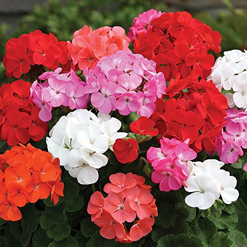 geranium-parade-12-mega-plants-mixed-colours-12