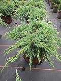 Juniperus squamata Blue Carpet - Blauer Kriechwacholder