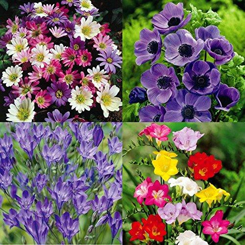 Confetti flower Garten - 150 blumenzwiebeln