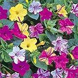 XiZiMi Zwergkalb 20 Samen Gartenarbeit Garten Balkon Blume Pflanze